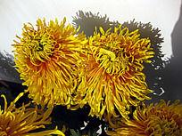 两朵金黄色菊花