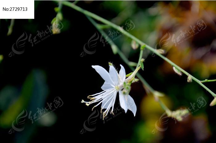 一朵白色的山桃草图片
