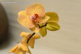 一株黄色带花纹的蝴蝶兰