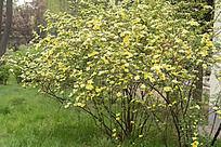 百花怒放的黄刺玫