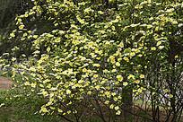 竞相开放的黄刺玫
