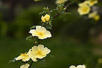 赏心悦目的刺玫花