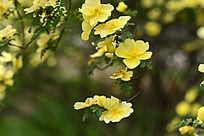 盛开的刺玫花