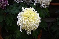 一朵白菊花