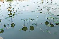 龙源湖的荷塘
