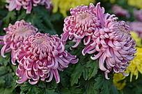 盛开的粉葵