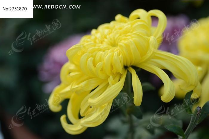高贵的黄菊花图片