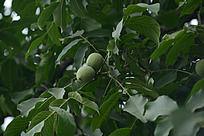 结果的杏树