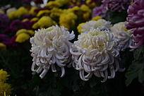 两朵并行盛开的白菊花