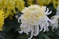 美丽的白菊花
