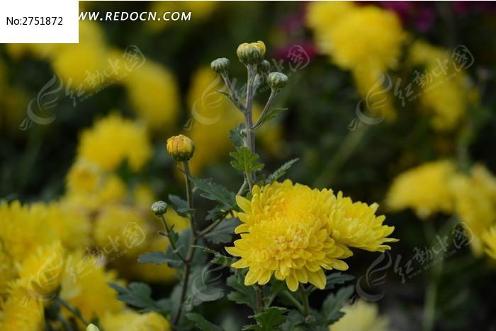 色彩鲜艳的黄菊花图片