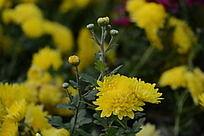 色彩鲜艳的黄菊花