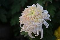 圣洁的白菊花