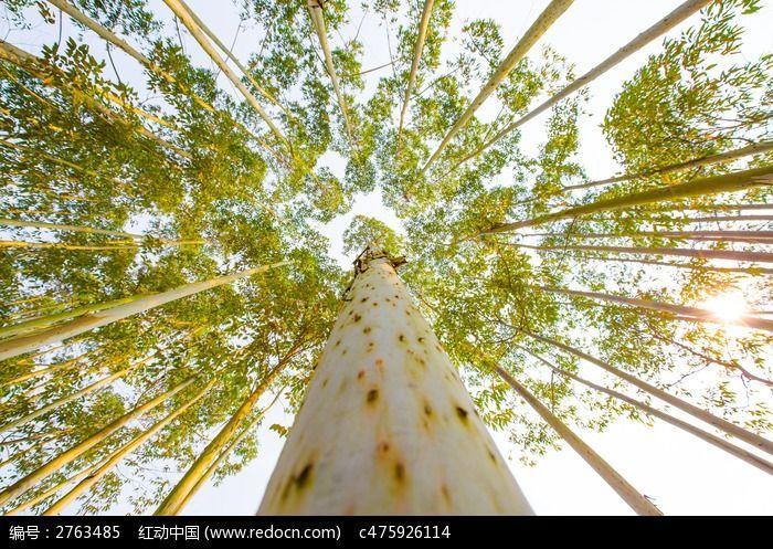 仰望密集的桉树图片