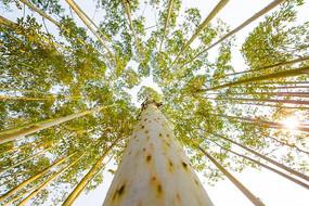 仰望密集的桉树