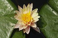 一朵金色睡莲