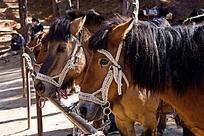 云南拉市海茶马古道的矮脚马