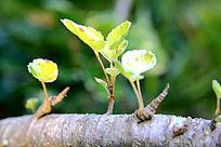 长出嫩芽的小树枝