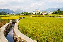 武宣县金黄稻田围绕的村庄