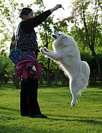 跳跃的萨摩耶犬