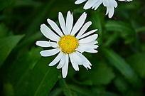 公园里的白色野菊花