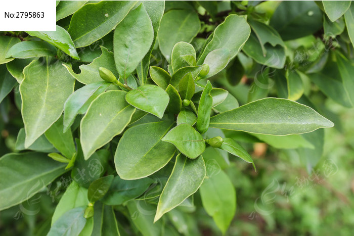 鸳鸯茉莉叶子图片图片
