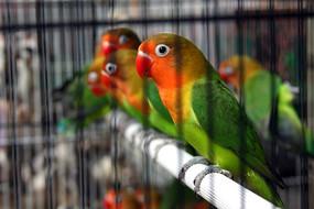 笼内的小鸟