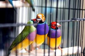 笼中的鹦鹉