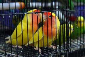 笼子里的鸟