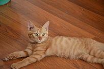 躺在地板上的猫