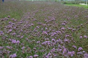 一片紫色的小花