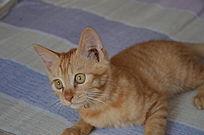 一只黄色的小猫