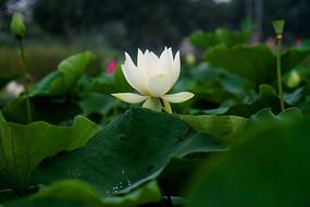 雨后荷塘里的一朵白荷花
