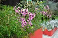 淡紫色的小花