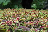 红绿色叶子的巴山冷杉