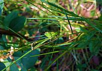 绿叶上的一只蝗虫