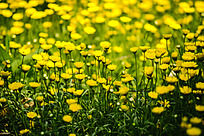 遍地金黄的野菊花 雏菊