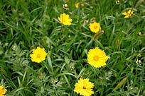 盛开的黄色小花朵