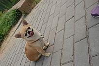 微笑的吐舌头的黄色可爱小狗