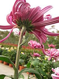 风中飘摇的梅红菊花