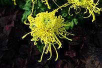 美丽的黄礼花