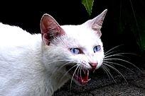 张开大口的猫