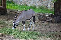 吃草的长角羚牛