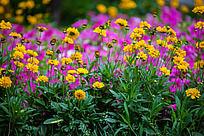 红黄相间的野花
