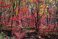 静静的枫树林