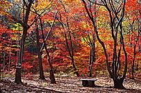 美丽的枫树林