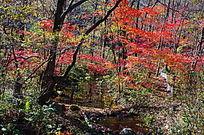 秋季的枫树林