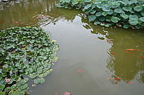 十笏园园林景观之荷叶与游鱼