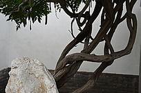 十笏园园林景观之纠结的藤条