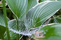 树叶中间蛛网上的露珠